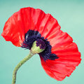 Half a red poppy flower on faint green background Stock Photos