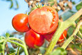 Half sliced tomato in the garden  against blue sky Stock Image