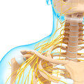 Half view of nervous system of throat and head d art illustration Stock Image