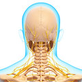 Half view of nervous system of throat and head d art illustration Stock Photography