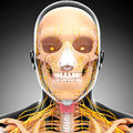 Half view of nervous system of throat and head d art illustration Royalty Free Stock Photo