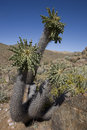 Halfmens (Pachypodium namaquanum) are indigenous t Royalty Free Stock Photo