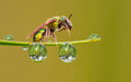 Halictid bee and dew Royalty Free Stock Images