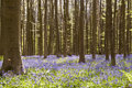 Hallerbos bluebells Royalty Free Stock Photo