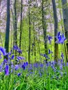 Hallerbos in spring Royalty Free Stock Photo