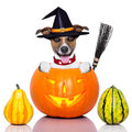 Halloween dog as witch inside a pumpkin looking spooky with a broom Royalty Free Stock Images
