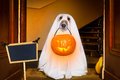 Halloween  ghost  dog trick or treat Royalty Free Stock Photo