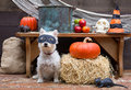 Halloween party dog a cute little wearing a mask ready for the apple bobbing to begin at a in a barn Royalty Free Stock Image
