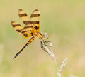 Halloween Pennant, Celithemis eponina Royalty Free Stock Photography