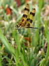 Halloween pennant dragonfly hanging onto a blade of grass Royalty Free Stock Image