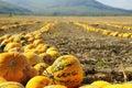 Halloween Pumpkin field Royalty Free Stock Photo