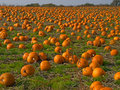 Halloween Pumpkin field background image Stock Images