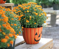 Halloween pumpkin mums an arrangement of colored in a hallowwen flower pot Royalty Free Stock Photos