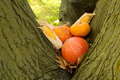 Halloween pumpkins in a tree Stock Image