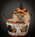 Halloween puppy cute little pom wearing a witch hat sitting in a basket on a black background Royalty Free Stock Images