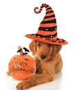 Halloween puppy cute with a pumpkin Stock Image