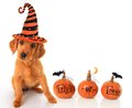 Halloween puppy cute wearing a witch hat Royalty Free Stock Photo