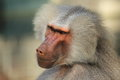 Hamadryas babbon the detail of baboon Royalty Free Stock Photography