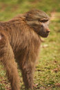 Hamadryas Baboon Stock Photo