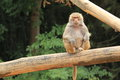 Hamadryas baboon Royalty Free Stock Photography