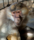 Hamadryas baboon in a cage papio captive small for tourists abu dhabi Stock Photos