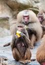 Hamadryas baboon a female papio eats a banana at the singapore zoo Stock Photography