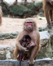 Hamadryas baboon a female papio nurses her young at the singapore zoo Stock Photo