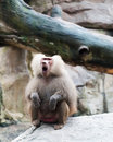 Hamadryas baboon a male papio makes loud calls at the singapore zoo Stock Photography
