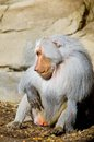 Hamadryas baboon male papio a species of from the old world monkey family Stock Image