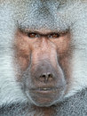Hamadryas baboon papio hamadryas closeup portrait of the Stock Photography