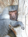 Hamadryas baboon papio hamadryas resting in a tree in its habitat Royalty Free Stock Photos