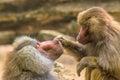 Hamadryas baboon papio hamadryas taking care of each other Royalty Free Stock Image