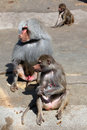 Hamadryas baboon papio hamadryas wild life animal Stock Photos