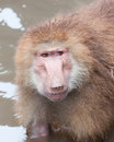 Hamadryas baboon a papio looks up from the water at the singapore zoo Stock Photography