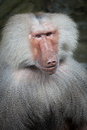 Hamadryas baboon portrait close up a male Royalty Free Stock Image