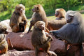 Hamadryas Baboon Troop Royalty Free Stock Photo