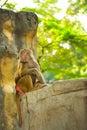 Hamadryas baboons papio hamadryas close up of selective focus Royalty Free Stock Photo