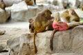 Hamadryas baboons papio hamadryas close up of selective focus Stock Photo