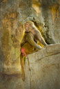 Hamadryas baboons papio hamadryas close up of selective focus Royalty Free Stock Photo