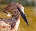 Hamerkop a closeup of the head of a Stock Image