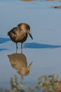 Hamerkop with reflection in water Stock Images