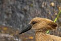Hamerkop scopus umbretta in kruger national park south africa Royalty Free Stock Photo