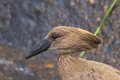 Hamerkop scopus umbretta seen in kruger national park south africa Royalty Free Stock Photography