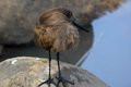 Hamerkop scopus umbretta seen in kruger national park south africa Royalty Free Stock Photo