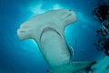 Hammerhead shark in bahamas underwater picture Royalty Free Stock Image