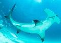 Hammerhead shark in bahamas underwater picture Stock Photos