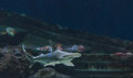 Hammerhead shark sphyrna lewini swims over a sunken boat Stock Photography