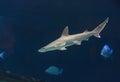 Hammerhead shark sphyrna lewini swims over a sunken boat Stock Images