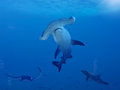 Hammerhead shark swimming in the blue ocean Royalty Free Stock Photography
