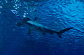 Hammerhead shark under surface silhouette of in the water Stock Photography